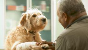 Senior veterinarian treating injured dog, rear view