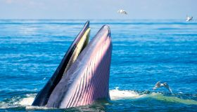 Bryde 's whale are emerging above the sea. There are many gulls flying around.